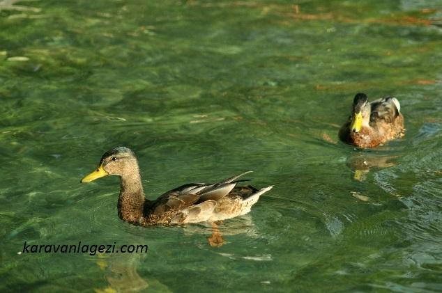 Bled Gölü, ördekler