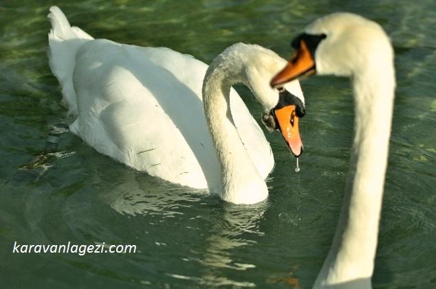 Bled Gölü, kuğular