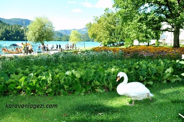 Kuğu ve Bled Gölü.